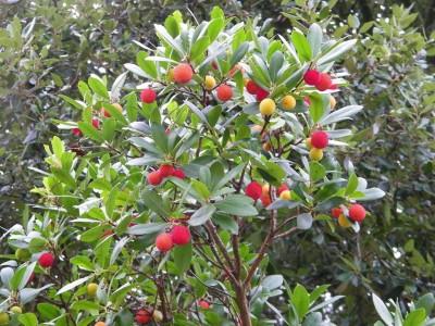 Amagaz - Fruit de l arbousier ...