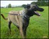 Photos de mon malinois Jumper