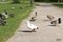 Photos d'un canard blanc