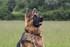 Photos d'un berger allemand