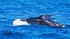 Islande -La chasse à la baleine va repre