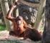 Les orangs-outans,la faune,la terre, men