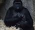 L'émouvante naissance d'un bébé gorille