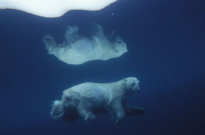 cet ours na ge dans l'eau froide et la glace se transforme en miroir