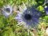 Du côté de Vallouise: Chardons bleus