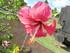 Les hibiscus n°2