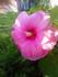 Les hibiscus de Rochefort