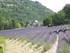 Le champ de lavande (en Provence)