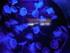 Les méduses bleues (Aquarium