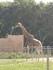 Les girafes (Planète Sauvage