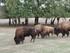 Le bison des plaines