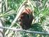 Le singe hurleur roux