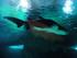Les requins d'Australie