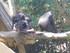 Le chimpanzé (Pan troglodytes)