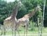 La girafe du Cap