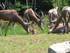 L'Oryx Algazelle et le Damalisque à fron