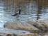 L'Oiseau du Lac de Killarney