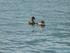 Les canards du Lac du Bourget