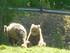 Les ours bruns (CERZA 2019)