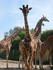 Les girafes de Cerza 2019