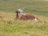 Les vaches des Alpes