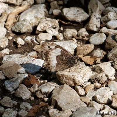 109 papillon blanc