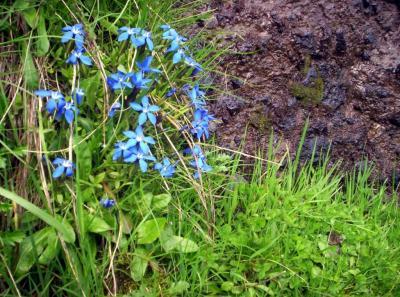 Jentiane bleu (fleurs protégées).