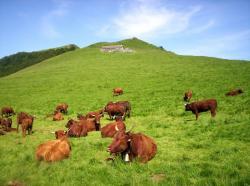 Troupeau de vaches Salers à Cabrespine