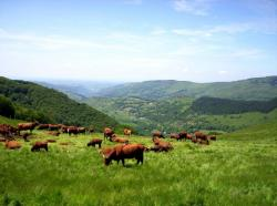Vaches Salers, en arriére plan la vallée de la Bertrande.