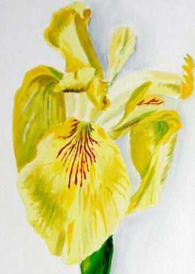Iris détail
