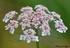 Fleurs de Carottes sauvages