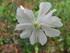 Le Compagnon blanc (Silene lat