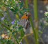 Amaryllis (papillon)