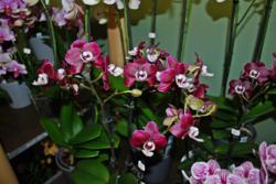 orchidée en pot
