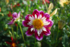 De beaux Dahlias lors des Journées du Pa