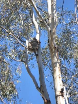 Koala a Narrandera