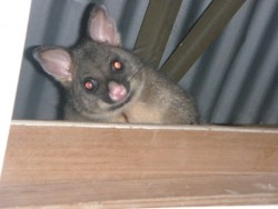 Possum au plafond