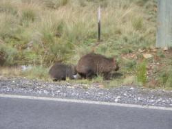Maman Wombat et Bébé Wombat
