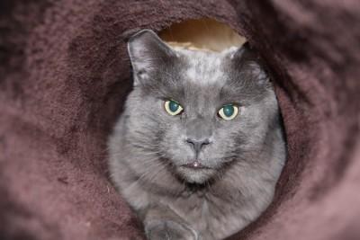 puce de chat