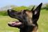 photos de mon chien malinois p28