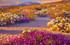 CALIFORNIE : APRES LES PLUIES LES DESERT