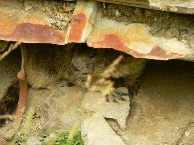 La marmotte qui a falli nous faire rater le bus, par Gaëtan