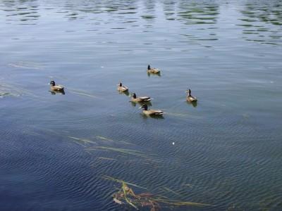 Canards sur la Seine