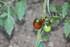 QUELQUES FRUITS/LEGUMES du jardin