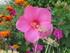 Mon hibiscus !!!