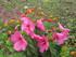 Mon hibiscus et ses fleurs !!!