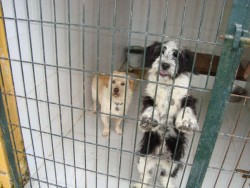 chiens en refuge