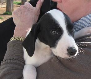 Canuto, chiot galgo à l'adoption