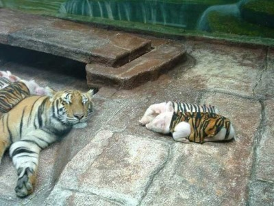 maman tigresse