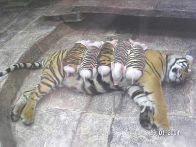 bébé cochon et maman tigresse